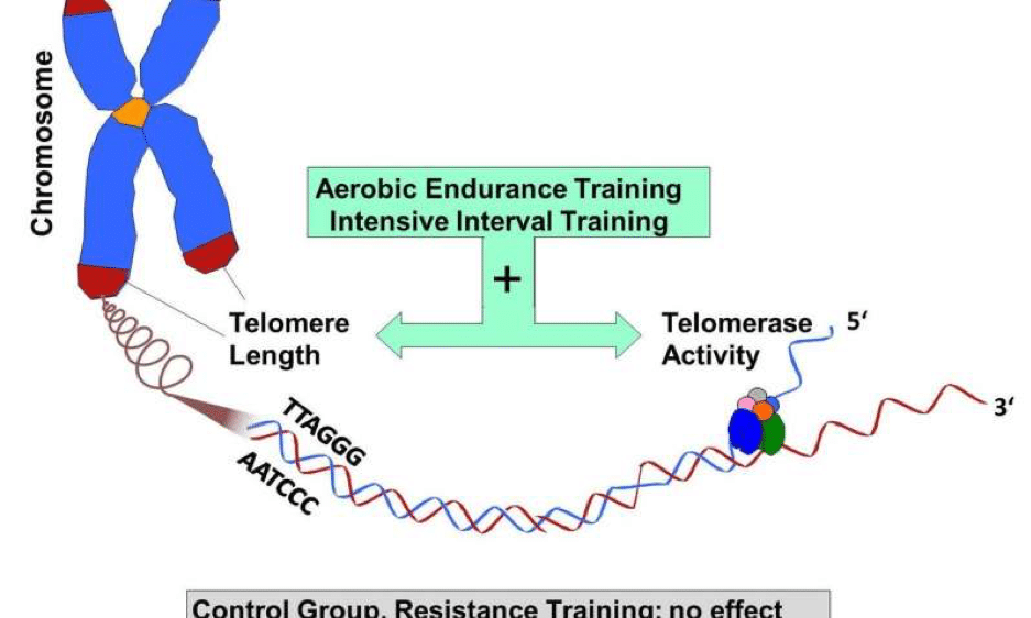 Telomere-Exercise