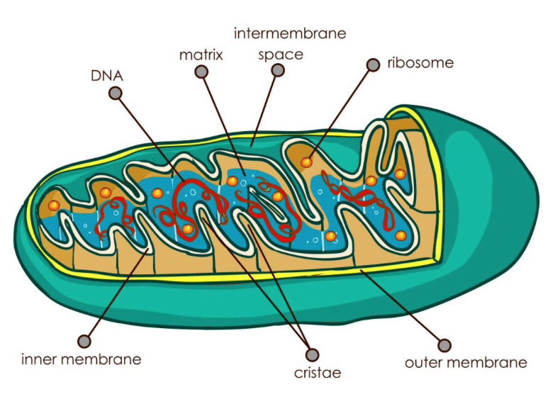 insights of mitochondria